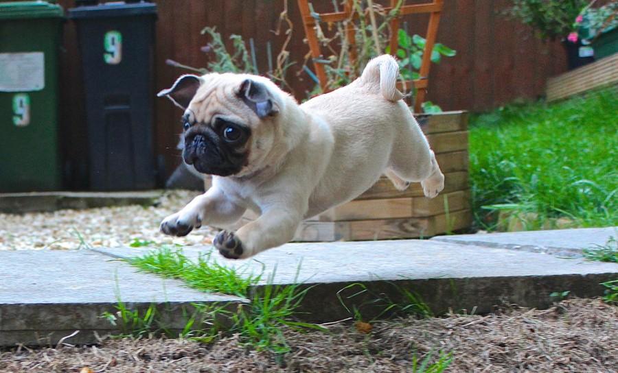 ..baby pug