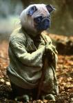 Baby pug Yoda!
