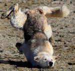 Falling husky!